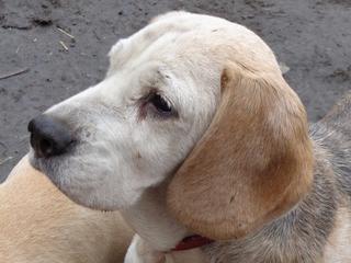 Hetty, Beagle-Basset-Mischlingshündin, ca. 7 Jahre 20809054qm