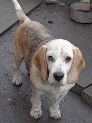 Hetty, Beagle-Basset-Mischlingshündin, ca. 7 Jahre 20809056ze