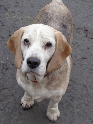 Hetty, Beagle-Basset-Mischlingshündin, ca. 7 Jahre 20809057yt