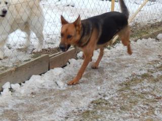 Yuli, Schäferhündin, geb. ca. März 2011 20949744lb
