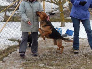 Yuli, Schäferhündin, geb. ca. März 2011 20949746to