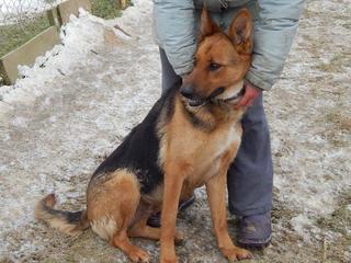 Yuli, Schäferhündin, geb. ca. März 2011 20949790ej