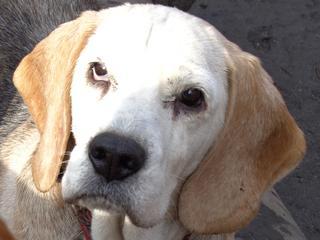 Hetty, Beagle-Basset-Mischlingshündin, ca. 7 Jahre 20967070dd