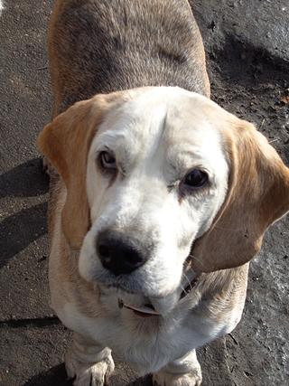 Hetty, Beagle-Basset-Mischlingshündin, ca. 7 Jahre 20967071uc