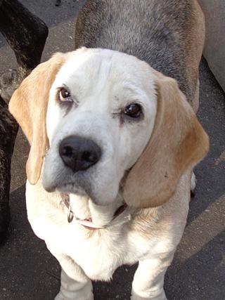 Hetty, Beagle-Basset-Mischlingshündin, ca. 7 Jahre 20967072wv