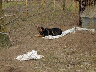 Cesar, Schäferhundmischlingsrüde, ca. 1 Jahr 21214361zz