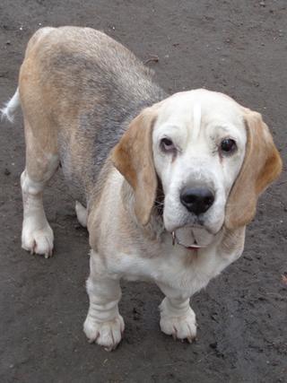 Hetty, Beagle-Basset-Mischlingshündin, ca. 7 Jahre 21218046vf