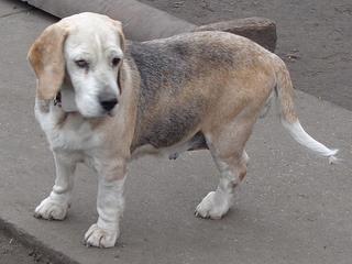 Hetty, Beagle-Basset-Mischlingshündin, ca. 7 Jahre 21218048ni