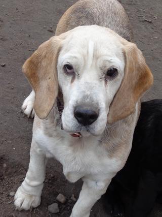 Hetty, Beagle-Basset-Mischlingshündin, ca. 7 Jahre 21218051tn