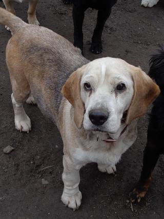 Hetty, Beagle-Basset-Mischlingshündin, ca. 7 Jahre 21218052kk