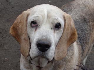 Hetty, Beagle-Basset-Mischlingshündin, ca. 7 Jahre 21218053xt