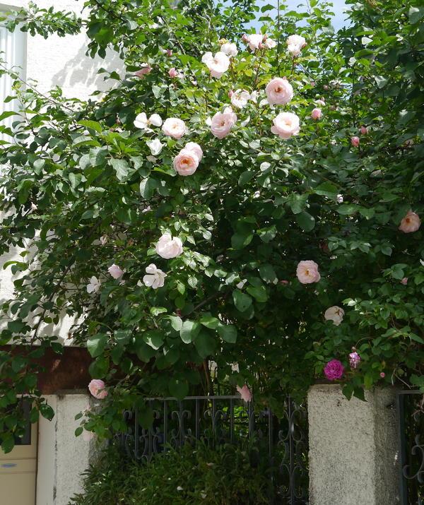 Historische Rosen 2015 Seite 50 Rund Um Die Rose