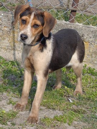 Clara, Beaglemischlingshündin, ca. 10 Monate 21272748ns
