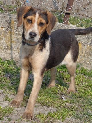 Clara, Beaglemischlingshündin, ca. 10 Monate 21272749cx
