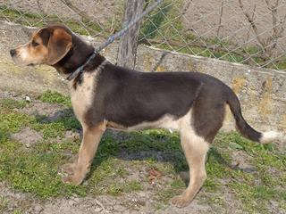 Clara, Beaglemischlingshündin, ca. 10 Monate 21272753qf