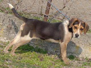 Clara, Beaglemischlingshündin, ca. 10 Monate 21272754ph