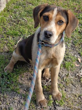 Clara, Beaglemischlingshündin, ca. 10 Monate 21272762yj