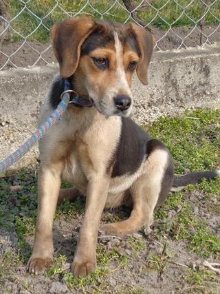 Clara, Beaglemischlingshündin, ca. 10 Monate 21272763fq