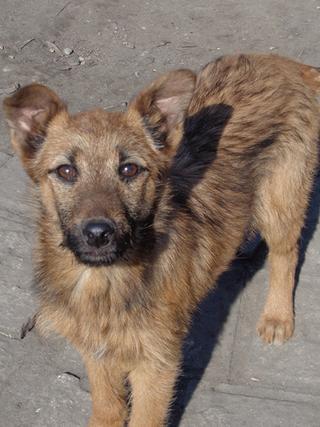 Fanni, Terriermischlingshündin, ca. 9 Monate 21309007fq