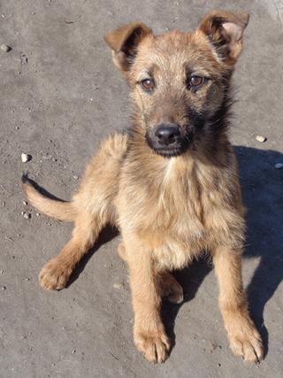 Fanni, Terriermischlingshündin, ca. 9 Monate 21309008zo