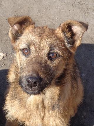 Fanni, Terriermischlingshündin, ca. 9 Monate 21309014ag