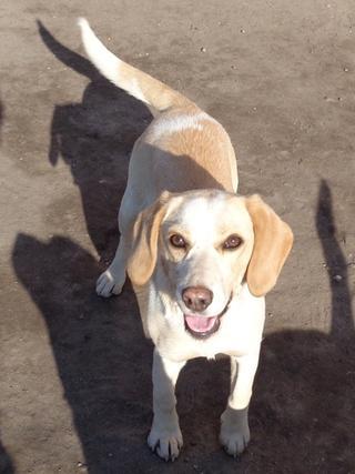 Tilda, Beaglemischlingshündin, ca. 11 Monate 21309312up