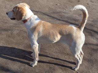 Tilda, Beaglemischlingshündin, ca. 11 Monate 21309314zy