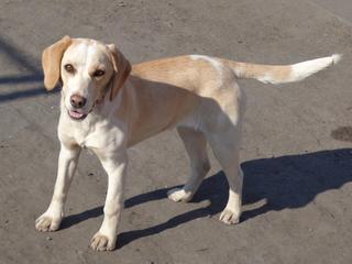 Tilda, Beaglemischlingshündin, ca. 11 Monate 21309317gr