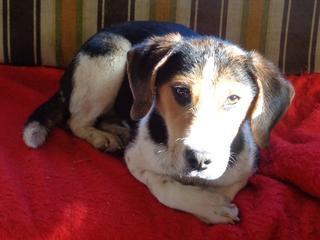 Clara, Beaglemischlingshündin, ca. 10 Monate 21378825zm