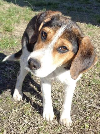 Clara, Beaglemischlingshündin, ca. 10 Monate 21378827cn