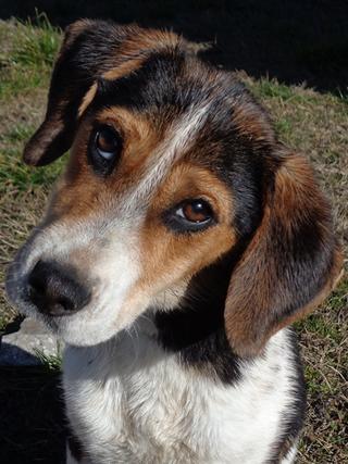 Clara, Beaglemischlingshündin, ca. 10 Monate 21378829ha
