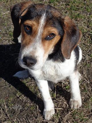 Clara, Beaglemischlingshündin, ca. 10 Monate 21378830ii