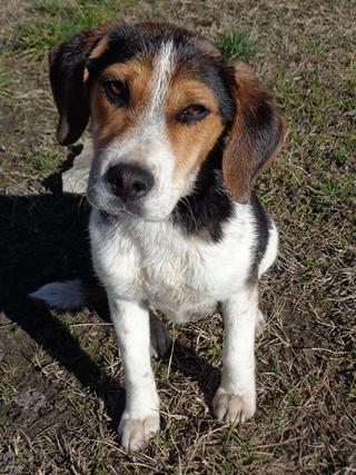 Clara, Beaglemischlingshündin, ca. 10 Monate 21378831wx