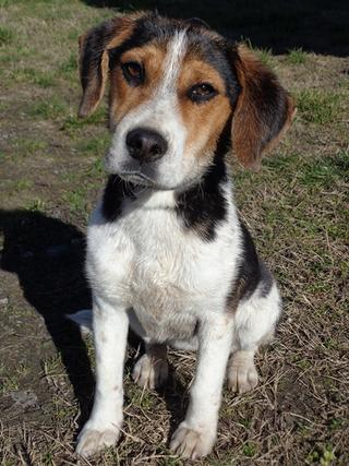 Clara, Beaglemischlingshündin, ca. 10 Monate 21378832mk