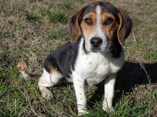Clara, Beaglemischlingshündin, ca. 10 Monate 21378833wn
