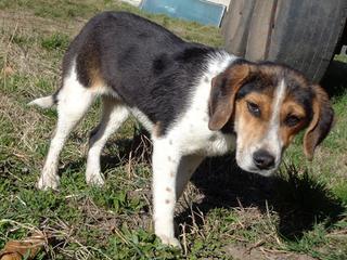 Clara, Beaglemischlingshündin, ca. 10 Monate 21378834fr