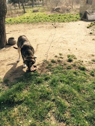Tappancs, Mischlinsgrüde, geb. ca. April 2012 21378877jr