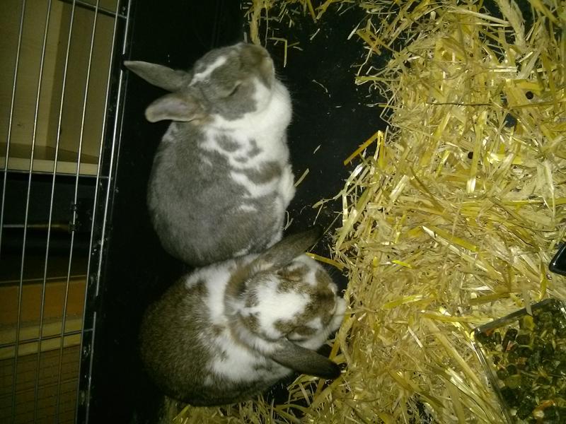 Kaninchen in \'Freihaltung\' mit Schlafstall