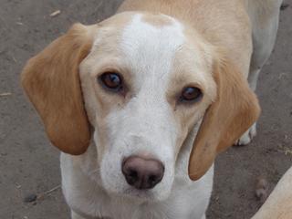 Tilda, Beaglemischlingshündin, ca. 11 Monate 21395302gr