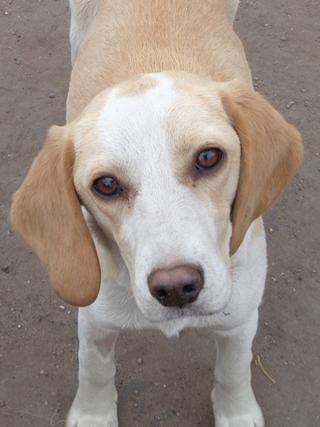 Tilda, Beaglemischlingshündin, ca. 11 Monate 21395305fk
