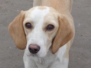 Tilda, Beaglemischlingshündin, ca. 11 Monate 21395309zj