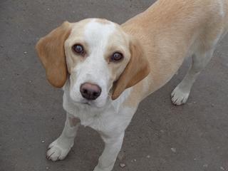 Tilda, Beaglemischlingshündin, ca. 11 Monate 21395311dg