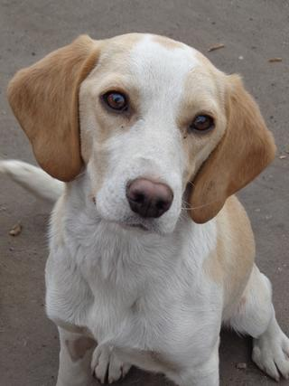 Tilda, Beaglemischlingshündin, ca. 11 Monate 21395318yx