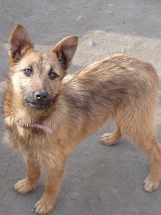 Fanni, Terriermischlingshündin, ca. 9 Monate 21395973mw