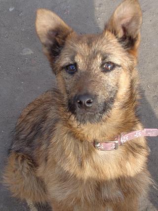 Fanni, Terriermischlingshündin, ca. 9 Monate 21395974sw