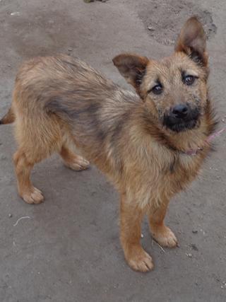 Fanni, Terriermischlingshündin, ca. 9 Monate 21395996vg