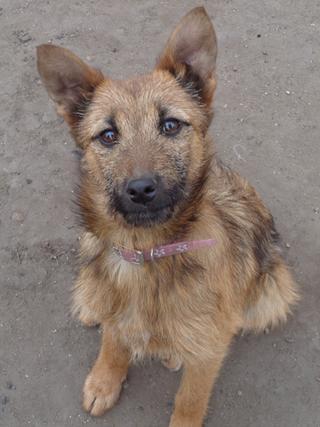 Fanni, Terriermischlingshündin, ca. 9 Monate 21396001pu
