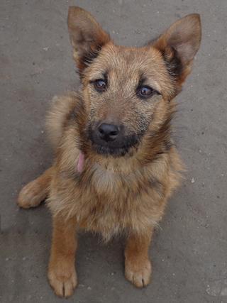 Fanni, Terriermischlingshündin, ca. 9 Monate 21396011ob