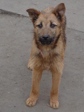 Fanni, Terriermischlingshündin, ca. 9 Monate 21396012py
