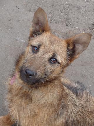 Fanni, Terriermischlingshündin, ca. 9 Monate 21396015lk